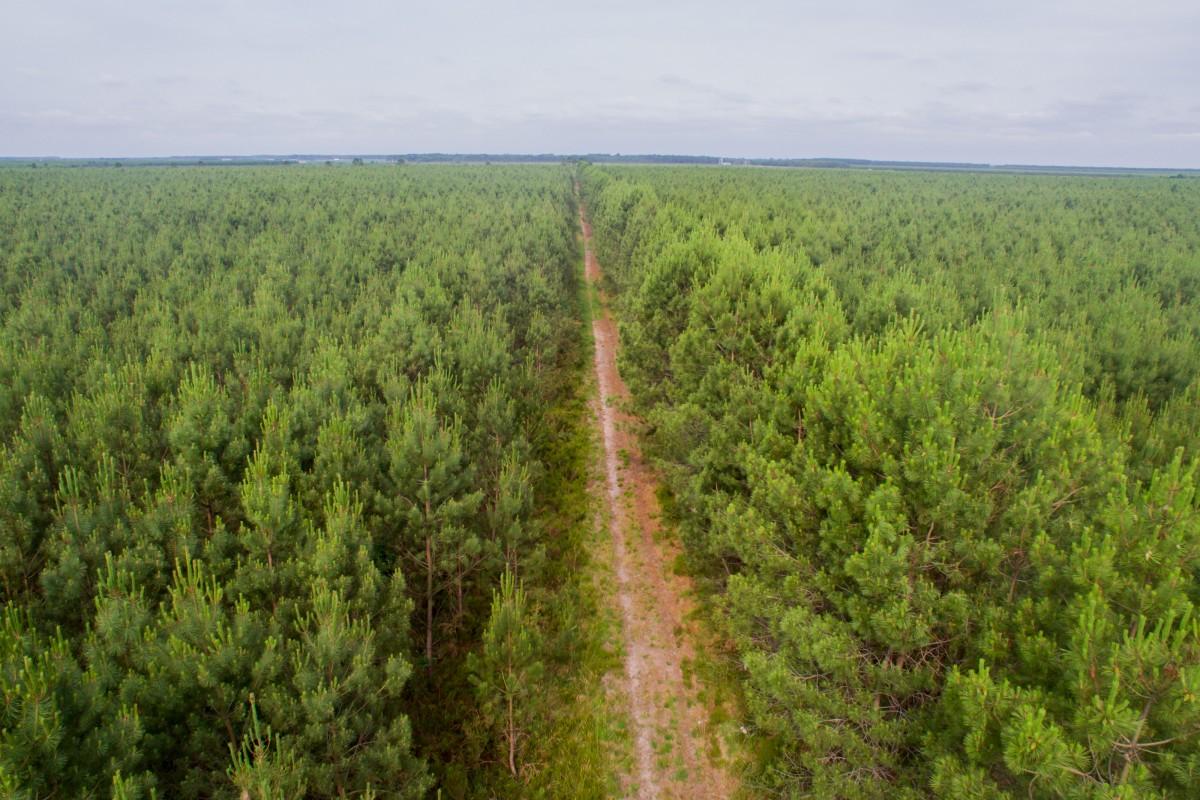 infinite Landes forest