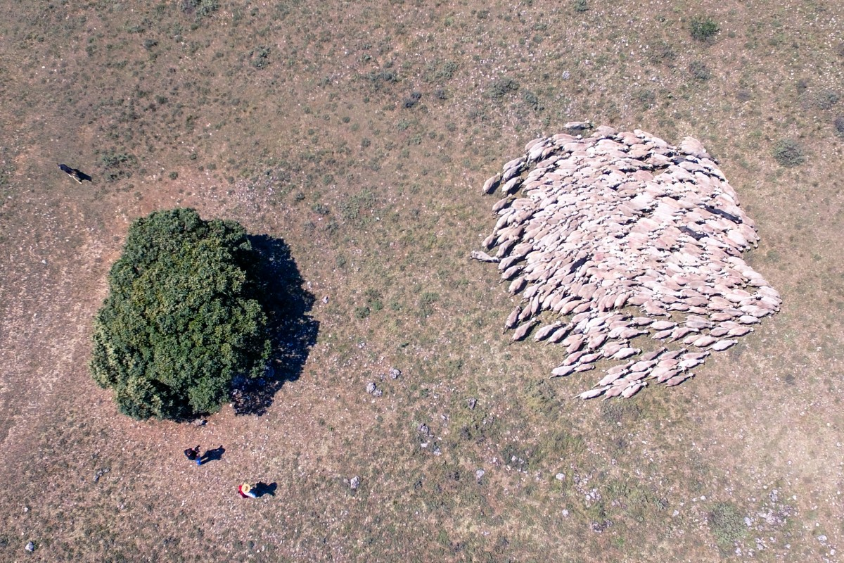 Aerial flock of sheep