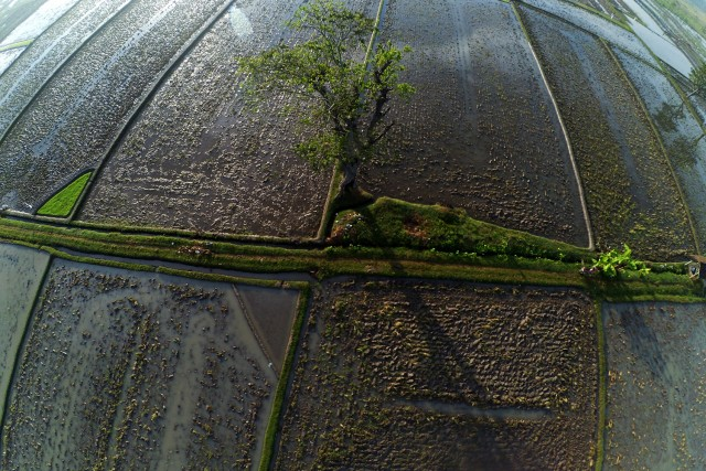 Tree on Ricefield