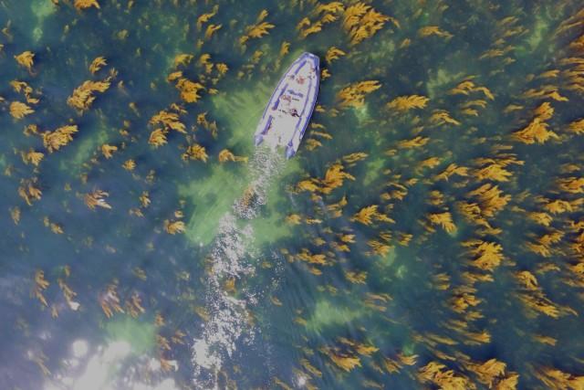 Motor boat sailing over a seaweeds forest, dorset, england