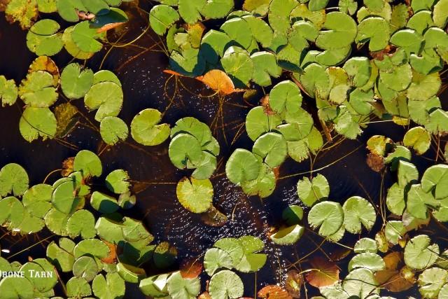 Nénuphars, lac du Merle