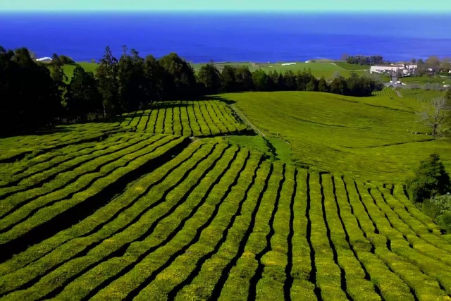 the only tea field in europe