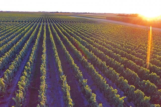 Vineyards in region of Vojvodina