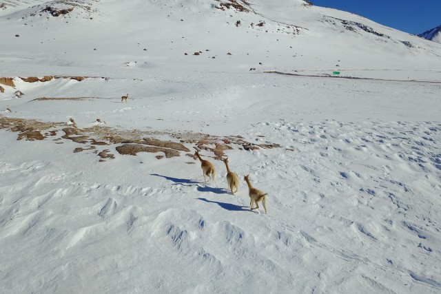 Guanacos en la nieve