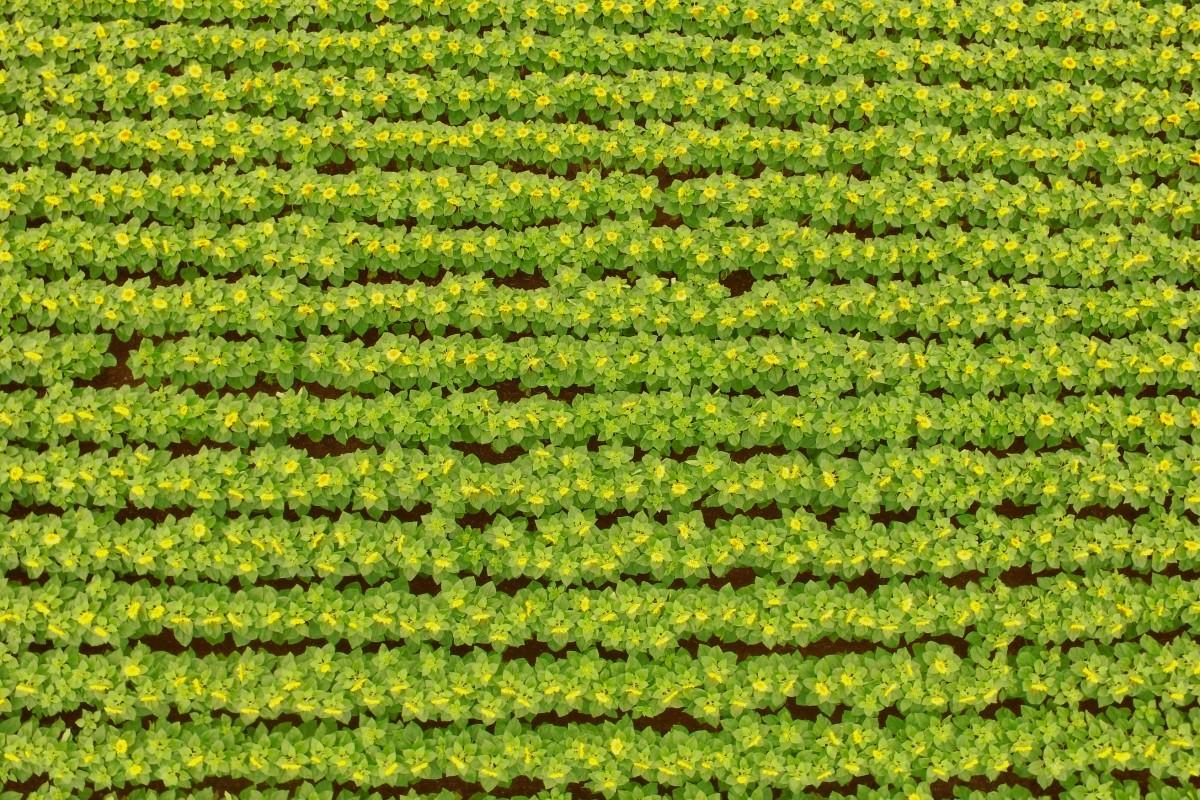 Sunflower field / Champs de Tournesol, Vienne, France