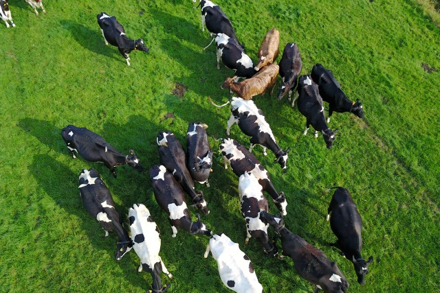 Using a Drone to Spy on Cows