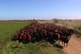 Gauchos herding the cattle