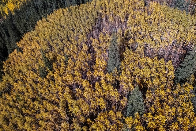 Aspen changing in the Colorado Rockies