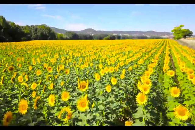 Girasoles en Castilla La Mancha