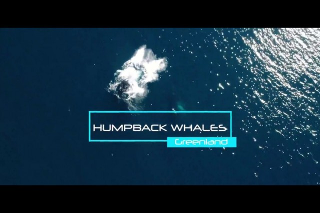 Humpback whales of Greenland