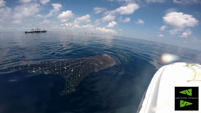 Whalsharks in Mexico!