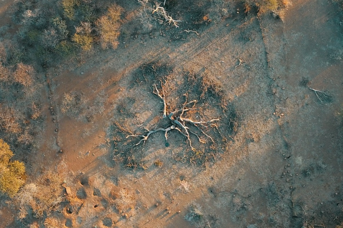 Fallen thorn tree