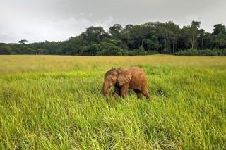 OTTO the elephant of Nyonié – Gabon.