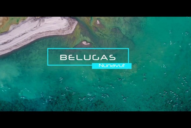 Thousand of belugas