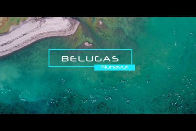 Thousand of belugas