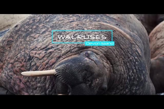 Walruses colony in Nunavut