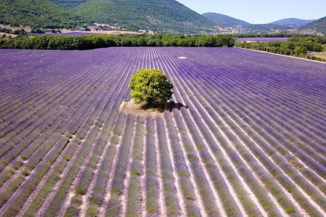 Follow the car in Lavender fields