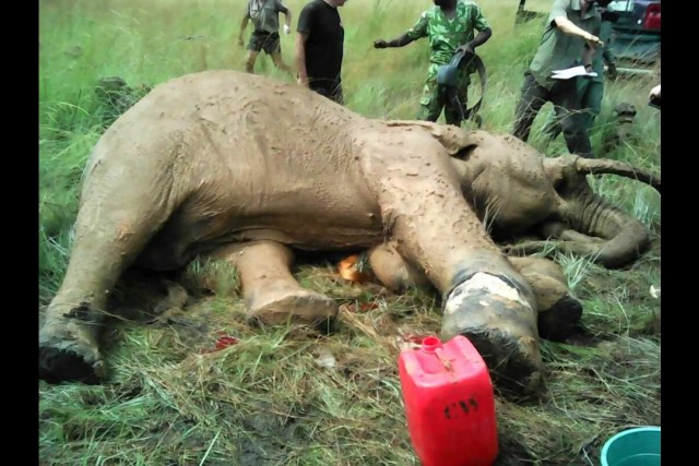 Otto the elephant is saved – Nyonié Gabon.