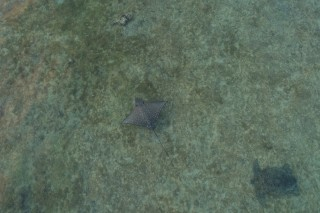 Eagle ray, green turtle, Mayotte