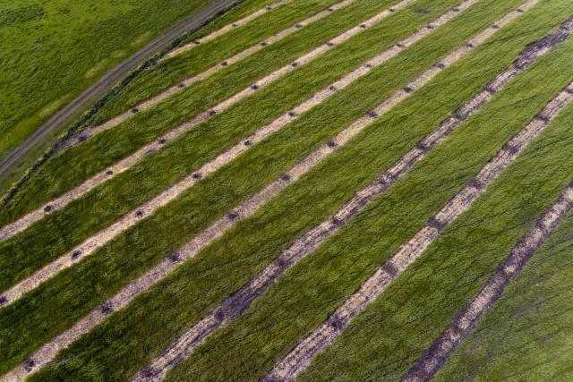 Strips in the wheat field