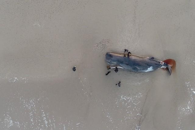 Spermwhale on a beach