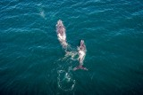 Whales, Plettenberg Bay