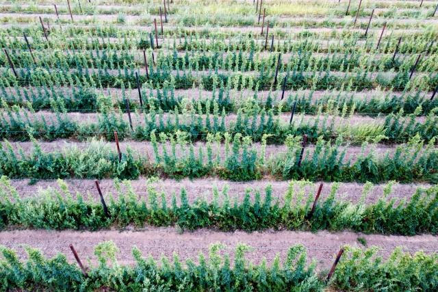 Knightwick sunset and hop fields