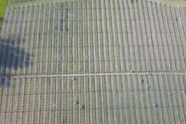 Vineyard and sheeps