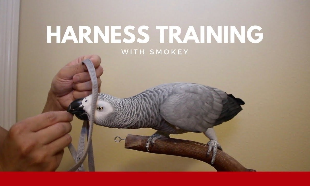 Harness Training Your Parrot