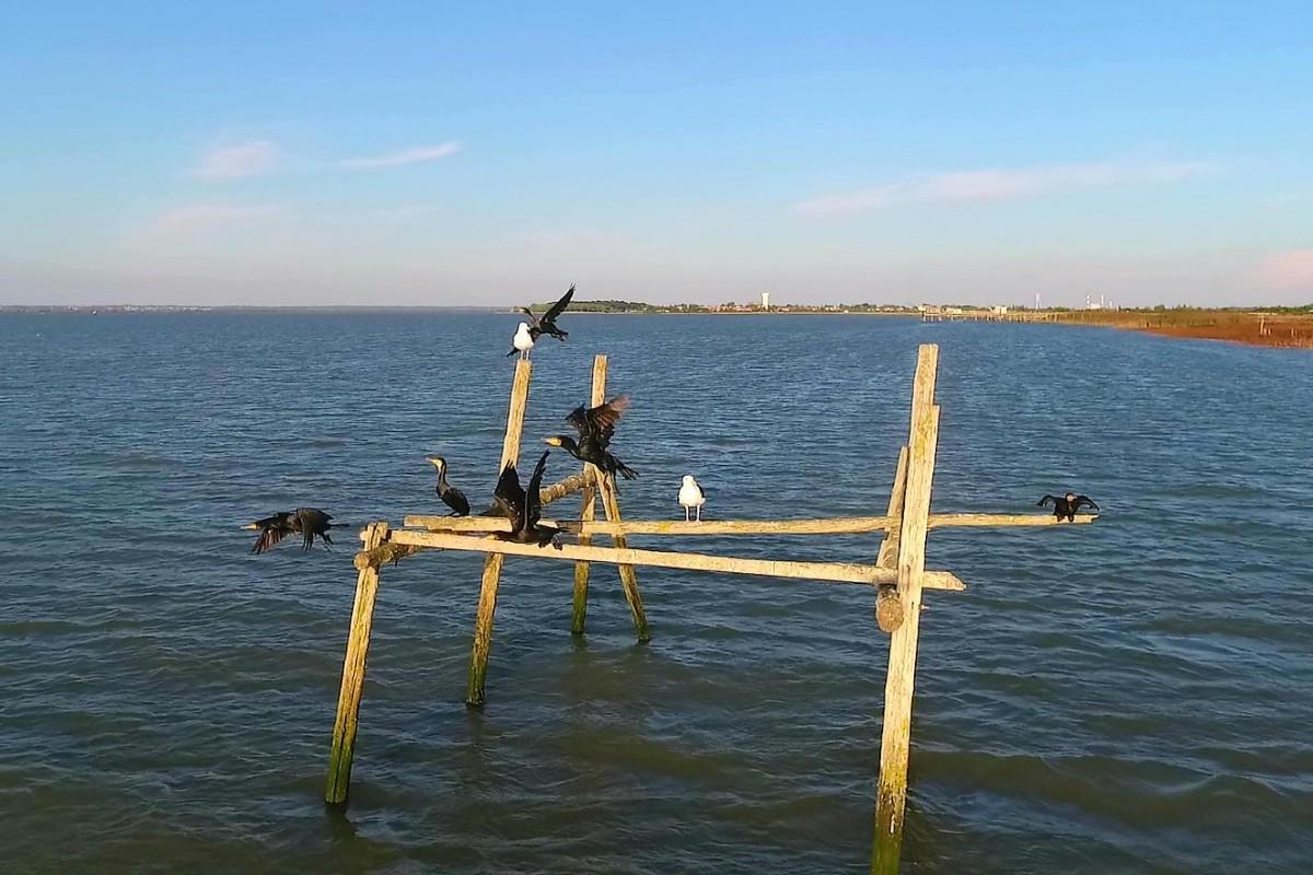 Cormorans take off on Loire river, Corsept, France
