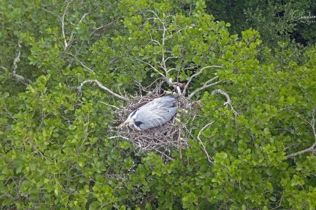 Héron cendré (Ardea cinerea) – Grey Heron
