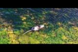 Le ragondin (Myocastor coypus) étang de Léon France 09/2018.