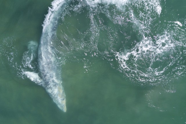 gray whale at play