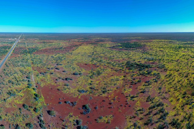 Everlasting Daisies near Denham, Australia