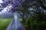 Jacaranda Rain