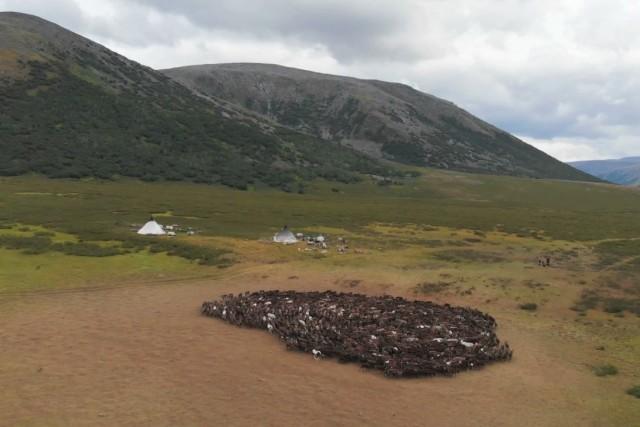 The camp of Nenets reindeer herders and a herd of deer.