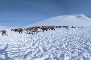 A herd of reindeer in the pastaschischev hard-to-reach area of the polar Urals.
