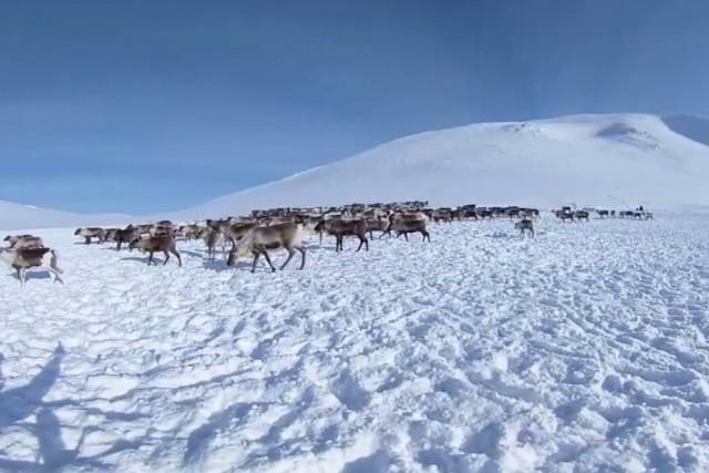 Nenets reindeer herders catch deer