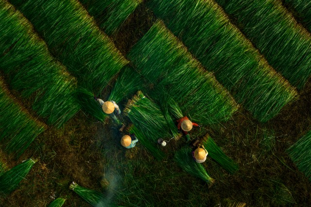 harvesting rush