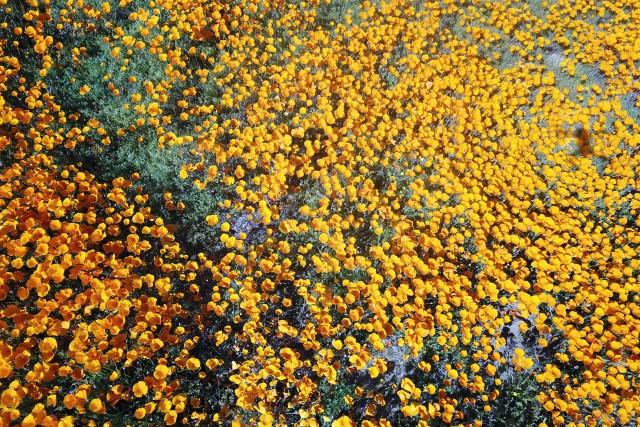 Poppies blooming near Lake Elsinore, Calfiornia