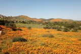 Poppies blooming near Lake Elsinore, Calfiornia