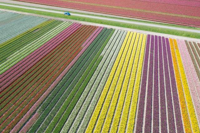 Tulip field!