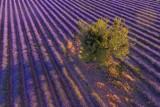 grand chêne lavande
