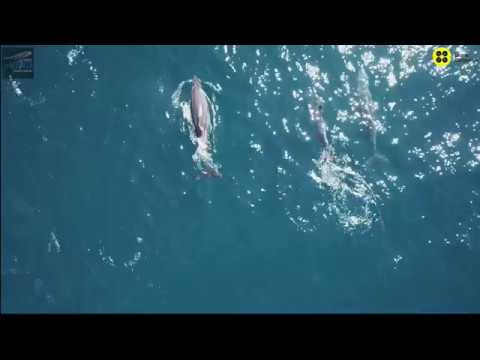 Dolphins from above in a  photo ID program with Ecological association in Catalonia