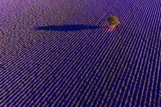 alone in lavender