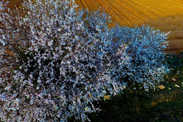 cerisier en fleurs Luberon