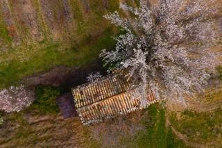 cabanon au cerisier en fleur