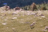 CPW Uses Drone To Count Bighorn Sheep Near Pikes Peak – CBS Denver
