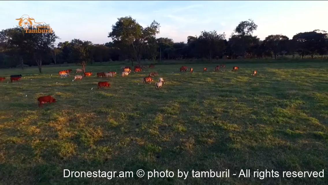 Vacas Leiteiras da Estância Tamburil